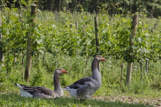 Chianti: vingården hos Il Drago e la Fornace sommarvy