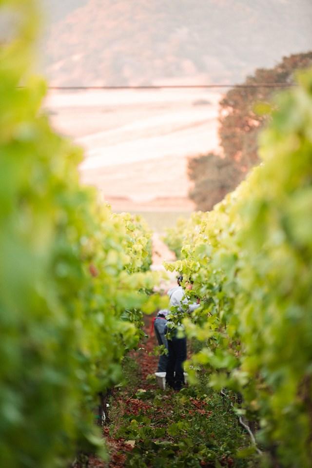 Pinot Noir - skörd i Monterey