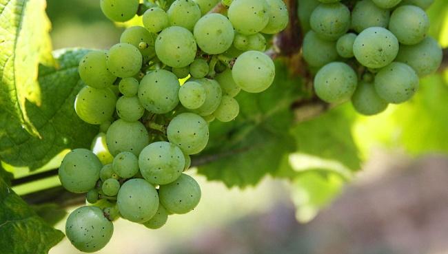 Falco Arinto Vinho Verde - gröna druvor